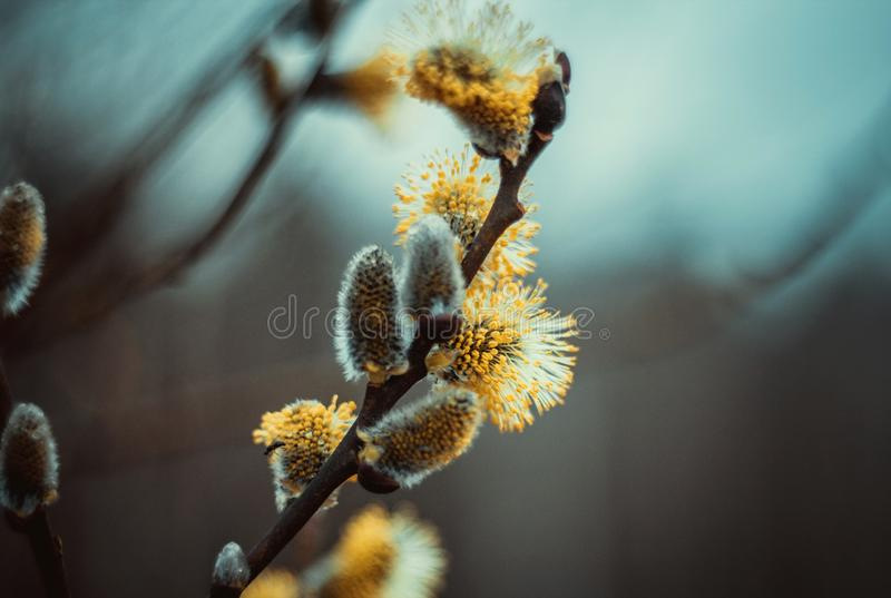 Blomma h?ngear eller knoppar, pussypil, gr? pil, getpil i tidig v?r p? en bl? brun himmelbakgrund Pilen fattar arkivbilder