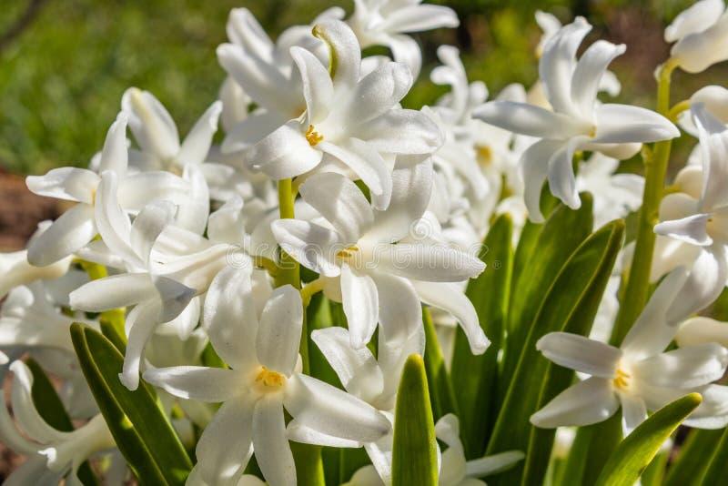 Blomma hyacinten med vita kronbladknoppar och gr?na sidor v?rblomma, n?rbild fotografering för bildbyråer