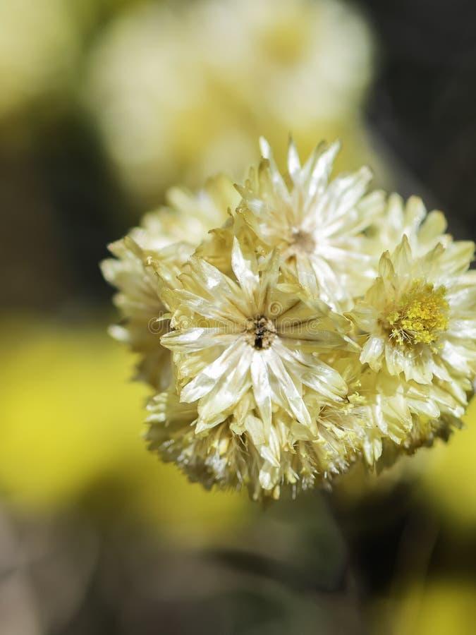 Blomma i fältet av en intensiv gul färg med makrofotografi arkivbilder