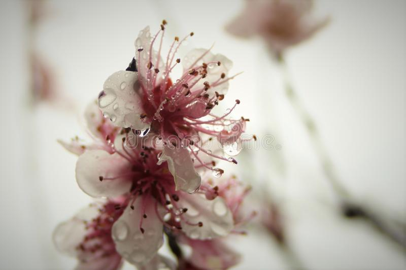 Blomma i regna royaltyfria foton