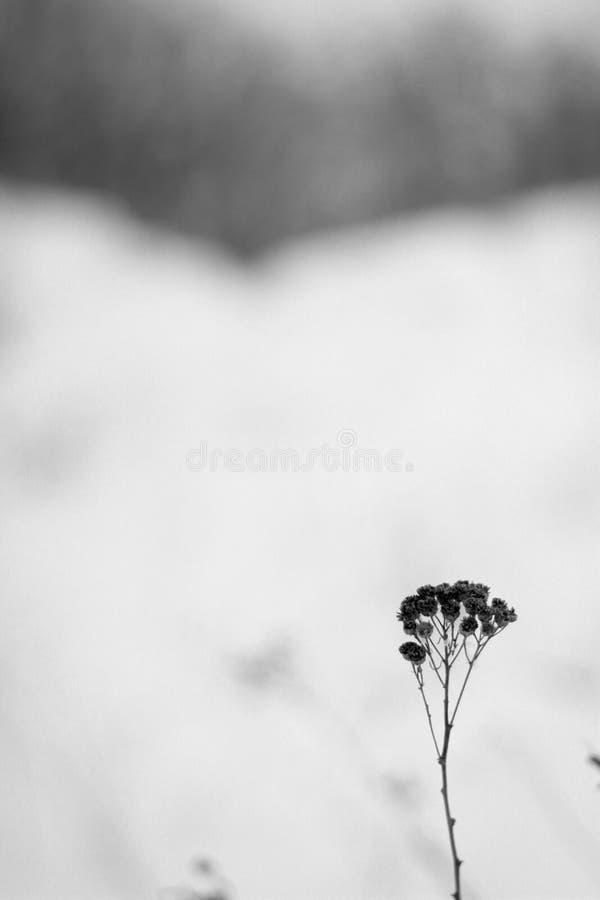 blomma i snön, blomma i fältet royaltyfria foton
