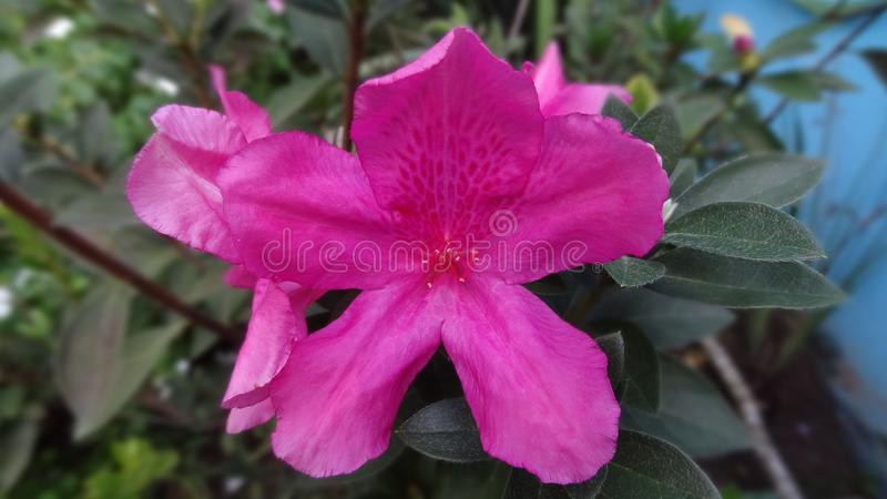 Blomma I som öppnas precis i trädgården royaltyfria foton
