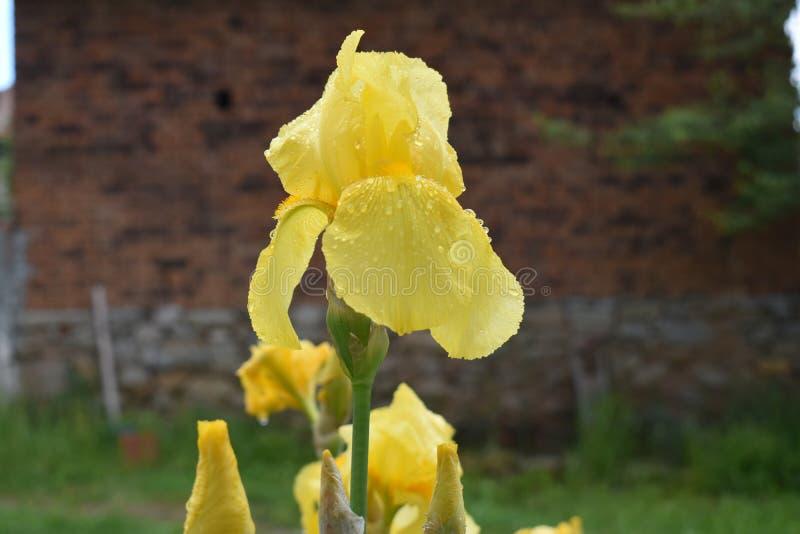 blomma irisyellow fotografering för bildbyråer