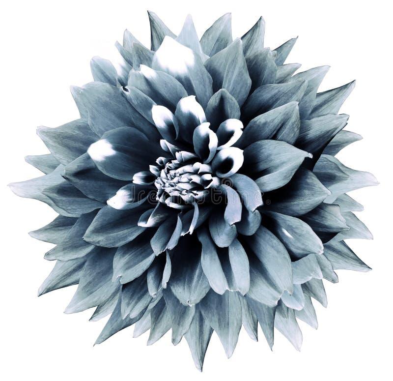 blomma isolerad turkosdahlia Vit bakgrund med den snabba banan Natur closeup royaltyfria bilder