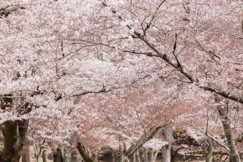 Blomma japansk körsbärsröd tree royaltyfria foton