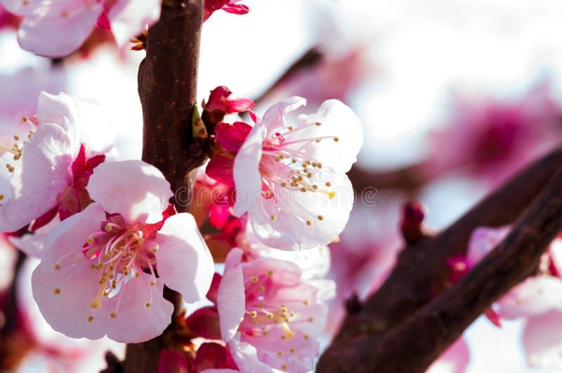 Blomma japansk k?rsb?rsr?d tree Blomstra vita rosa sakura blommor med ljusa vita blommor i bakgrunden arkivbild