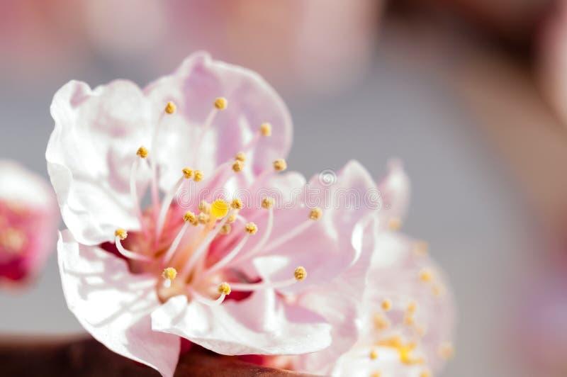 Blomma japansk k?rsb?rsr?d tree Blomstra vita rosa sakura blommor med ljusa vita blommor i bakgrunden arkivfoton