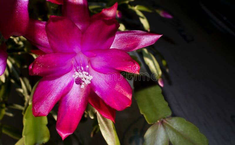 Blomma julkaktuns fotografering för bildbyråer