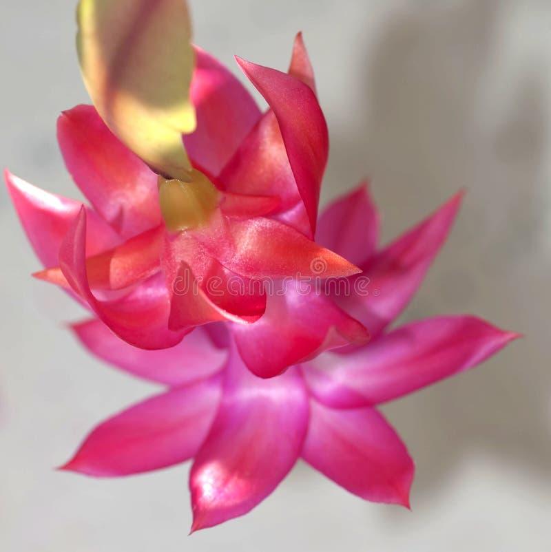 Blomma julkaktuns, begränsar makroen, fokusområdet arkivfoto