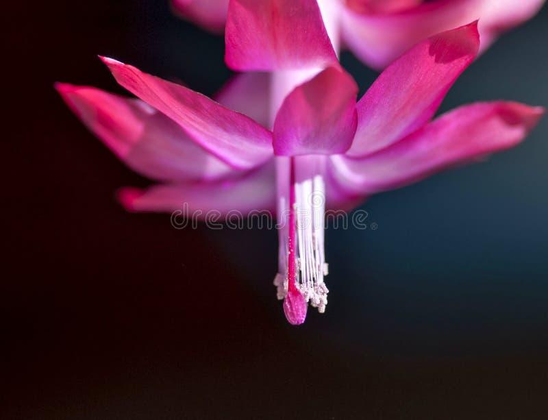 Blomma julkaktuns, makro, övrekronbladen av en blomma som den delikata scharlakansröda flamman arkivbild