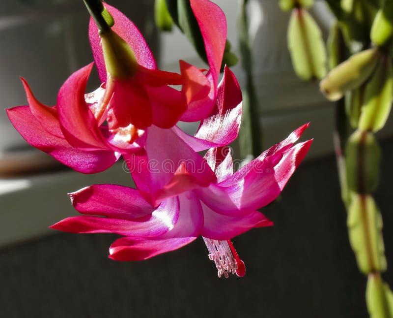 Blomma julkaktuns, makro, övrekronbladen av en blomma som den delikata scharlakansröda flamman royaltyfria bilder