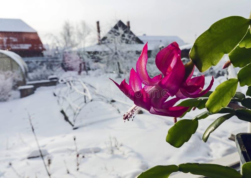 Blomma julkaktuns på fönsterbrädan royaltyfri foto