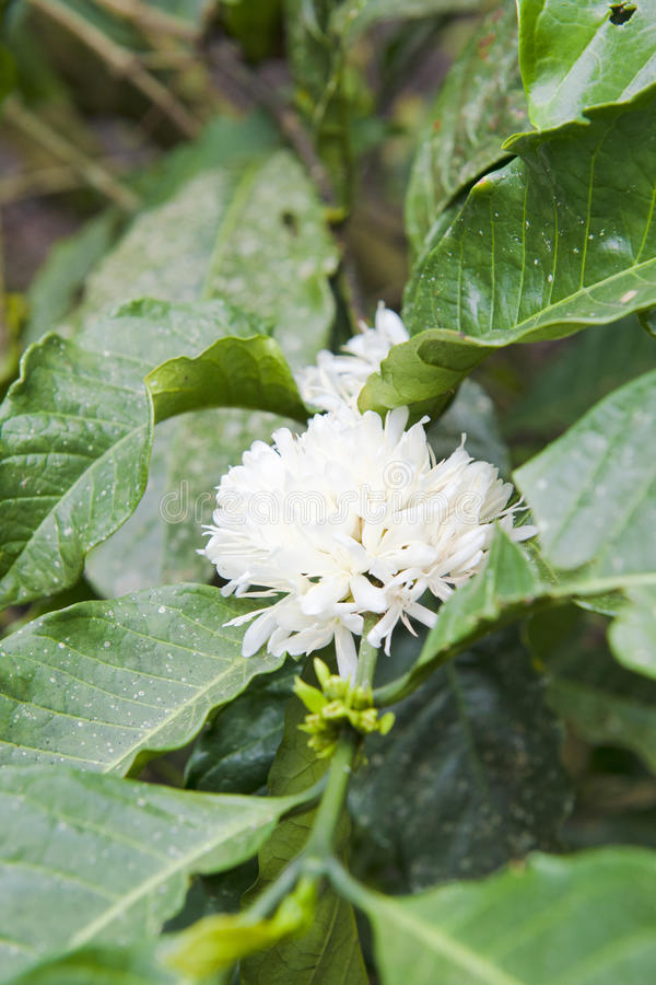 Blomma kaffeväxt royaltyfria foton