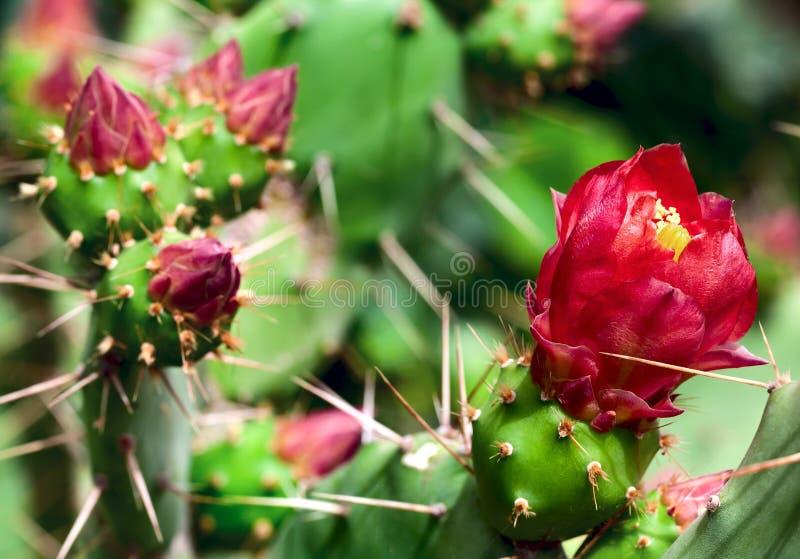 Blomma kaktuscloseup arkivbilder