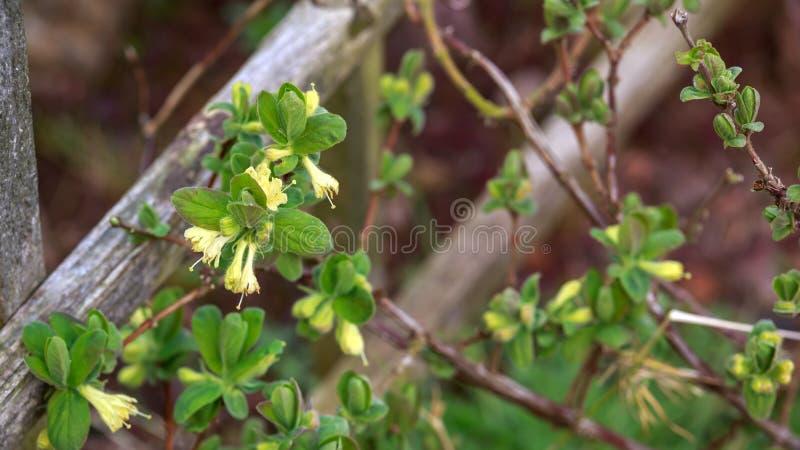Blomma kaprifolblommor i v?rtr?dg?rd Loniceracaeruleabuske arkivfoto