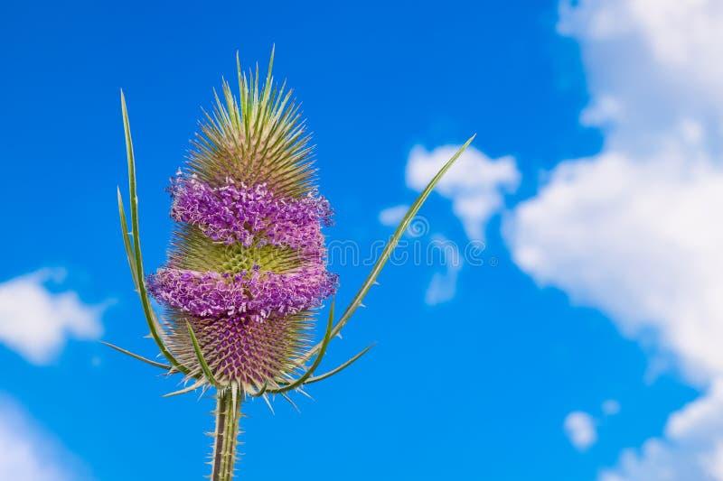 Blomma kardtisteldetaljen Purpurfärgade bälten på äggformad flowerhead gr?na taggar Dipsacus arkivfoto