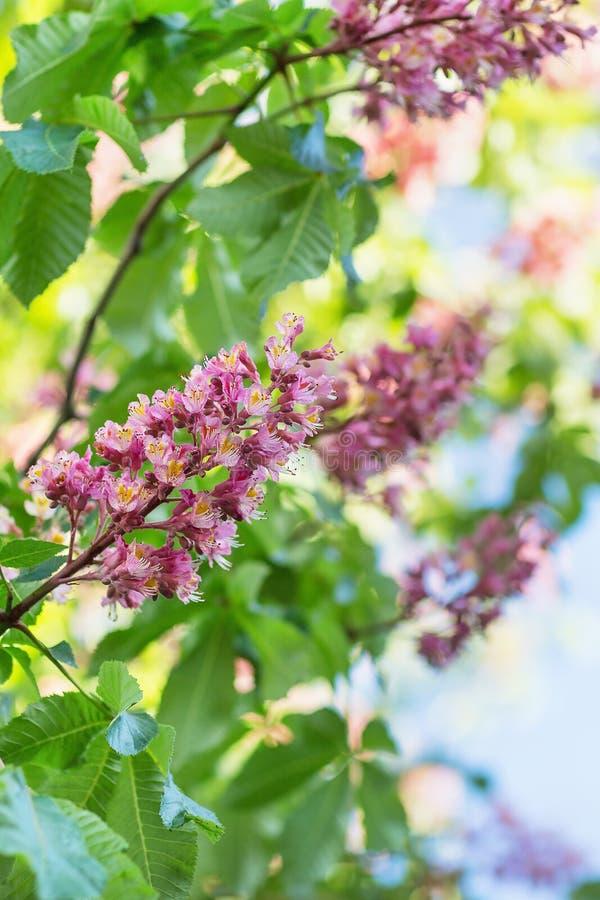 blomma kastanjebrun h?sttree suddighet bakgrund N?ra ?vre, selektivt fokuserar royaltyfri foto