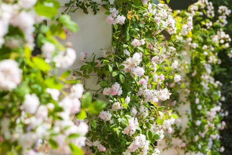 Blomma klättra rosor i en härlig trädgård royaltyfri bild
