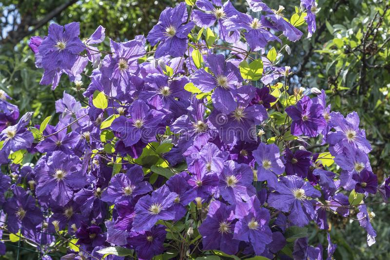 Blomma klematislilor arkivbild