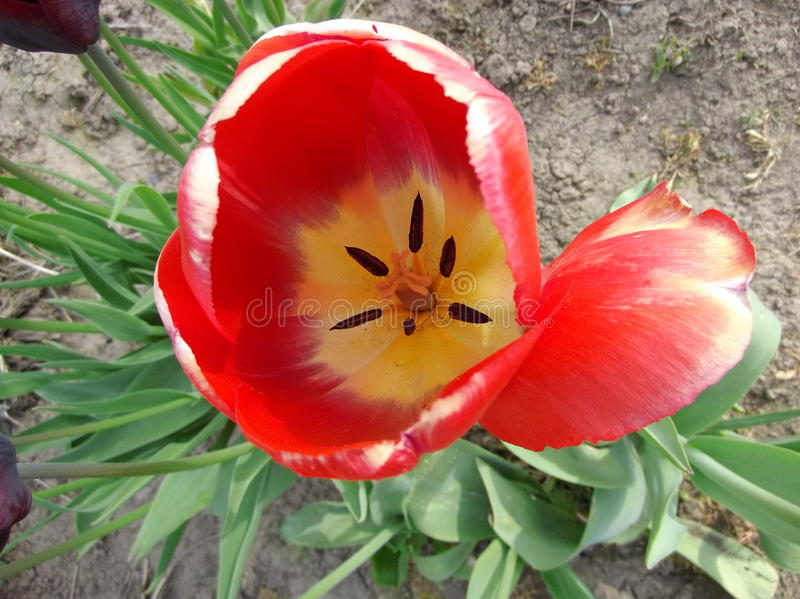Blomma knoppar royaltyfria foton