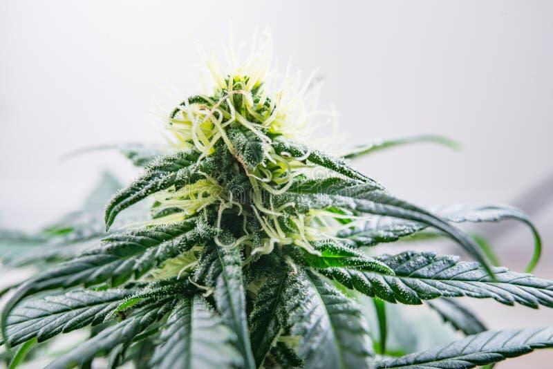 Blomma knoppar av marijuana, cannabis för medicin och recreatioen arkivbild