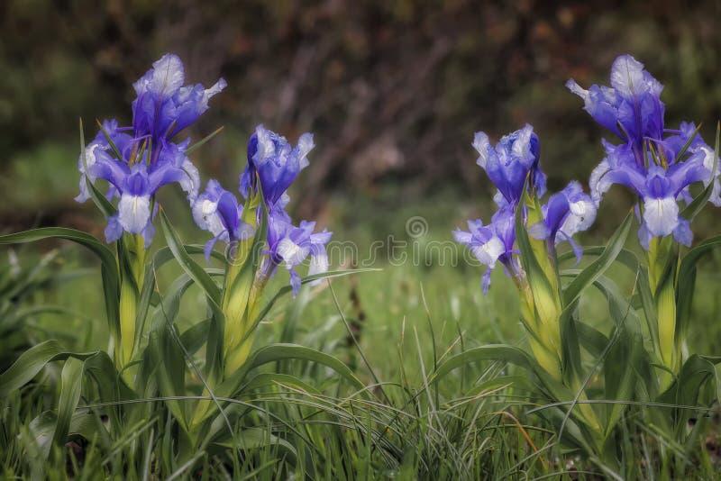 Blomma lösa iriers som på våren blommar trädgården arkivfoton