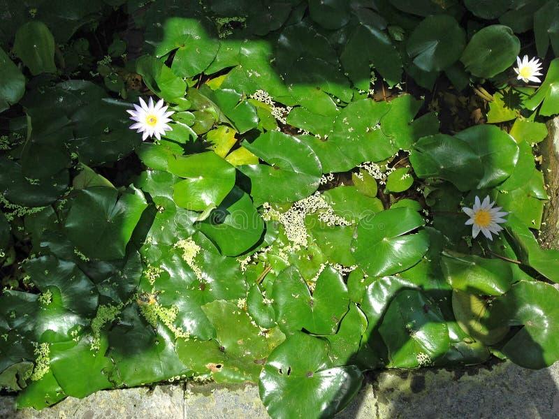 blomma liljavatten _ Indonesien royaltyfri fotografi
