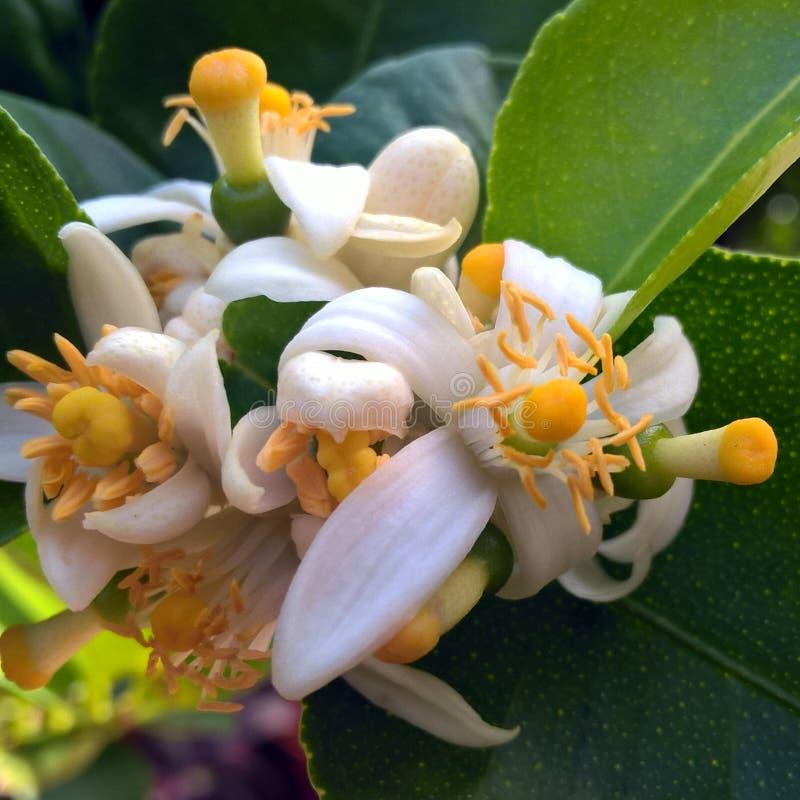 blomma limefrukt royaltyfri bild