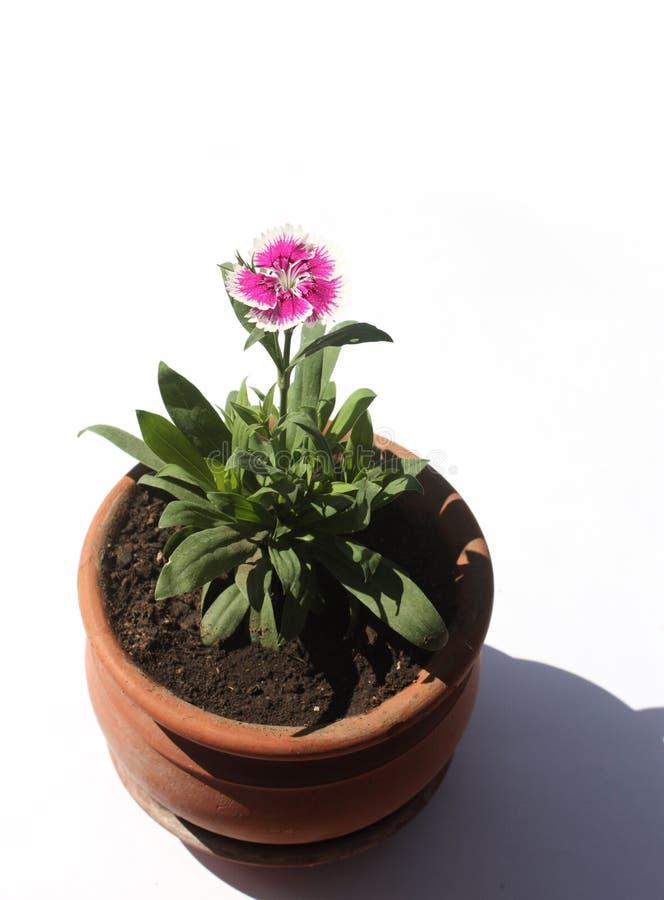 blomma little pink arkivfoto