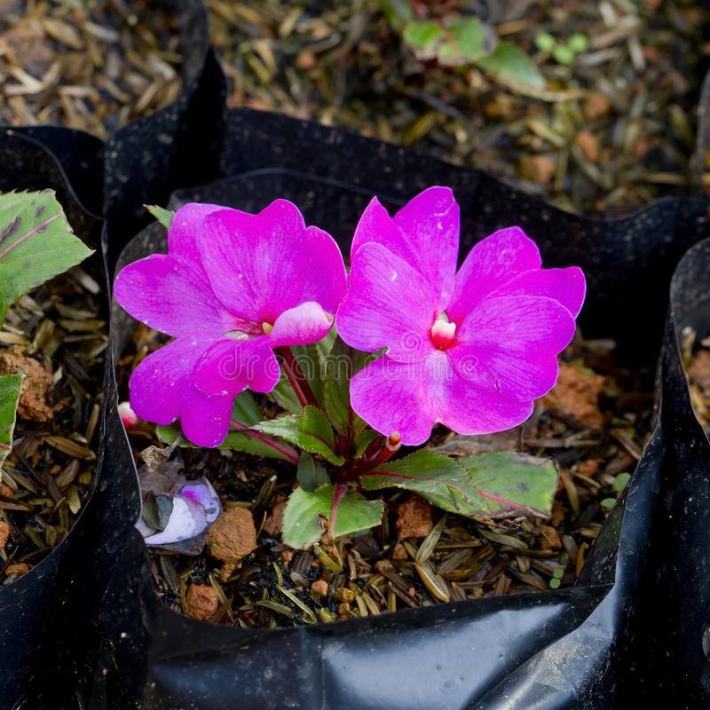 blomma little pink royaltyfri fotografi