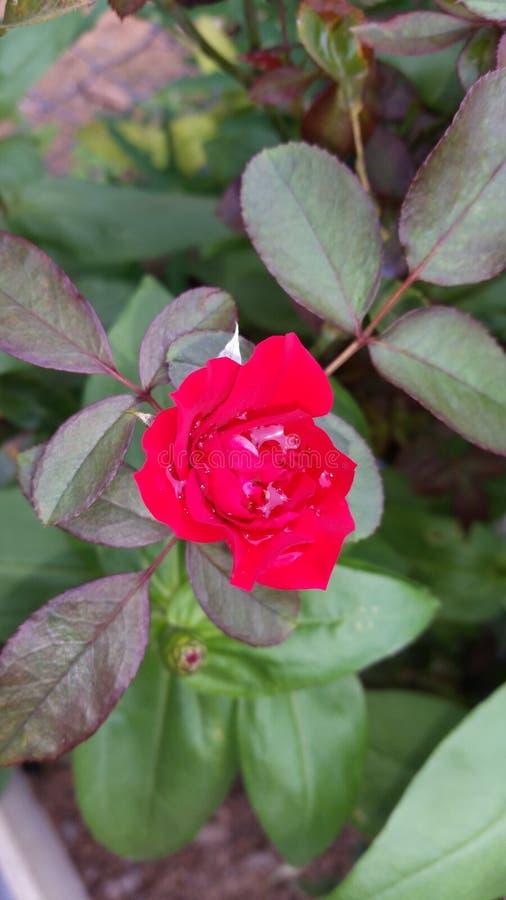 blomma little som är röd royaltyfria bilder