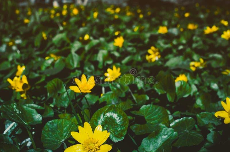 Blomma ljusa gula Marsh Marigold Caltha palustris, bakgrund arkivfoton