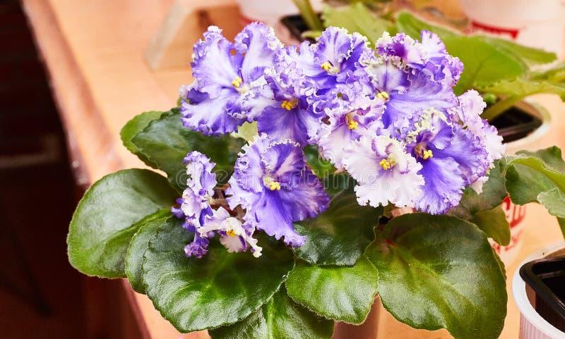 Blomma lockigt blåvitt violett för afrikan på hyllan Saintpaulia royaltyfria foton