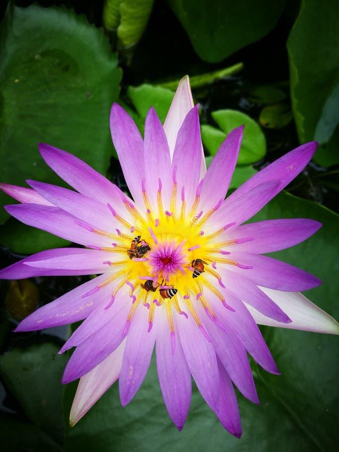 Blomma Lotus royaltyfria bilder
