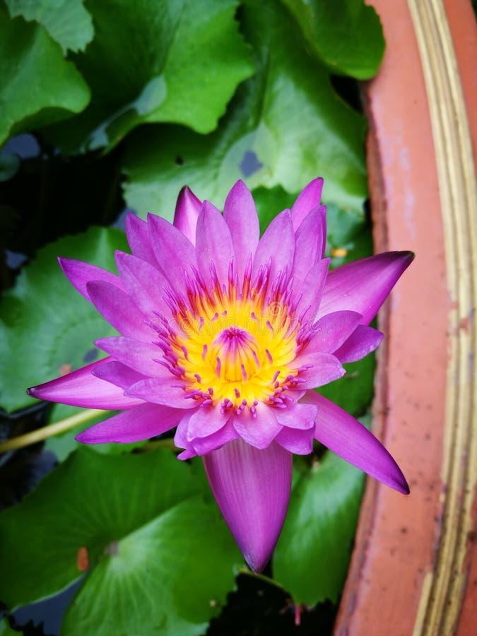 Blomma Lotus royaltyfri bild