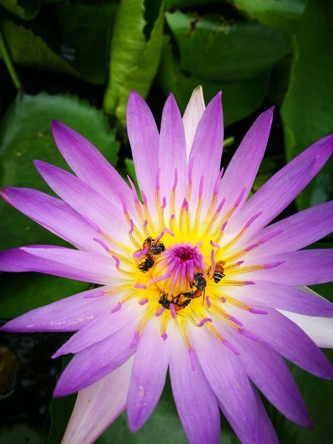 Blomma Lotus arkivbilder