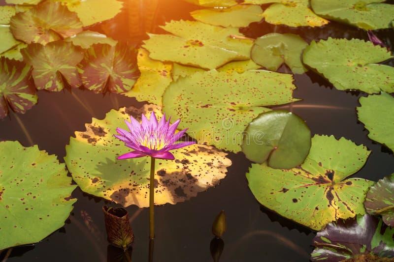 Blomma Lotus på den plana yttersidan av vattnet Blek lila för vattenblomma och stora gröna sidor royaltyfri bild