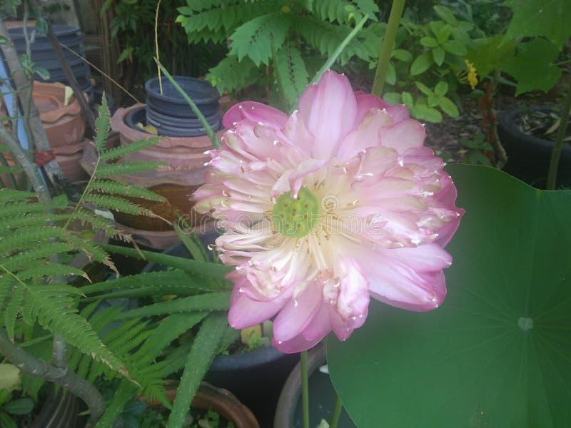 Blomma lotusblomma i min trädgård arkivfoto