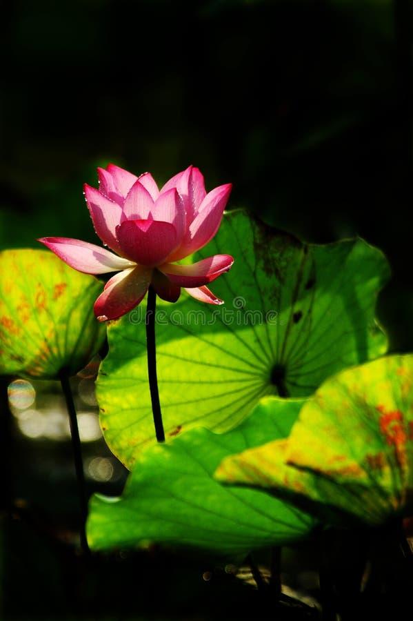 blomma lotusblommamorgonsolskenet royaltyfria foton