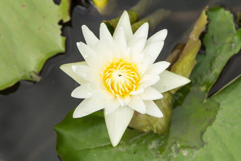blomma lotusblommawhite arkivfoto