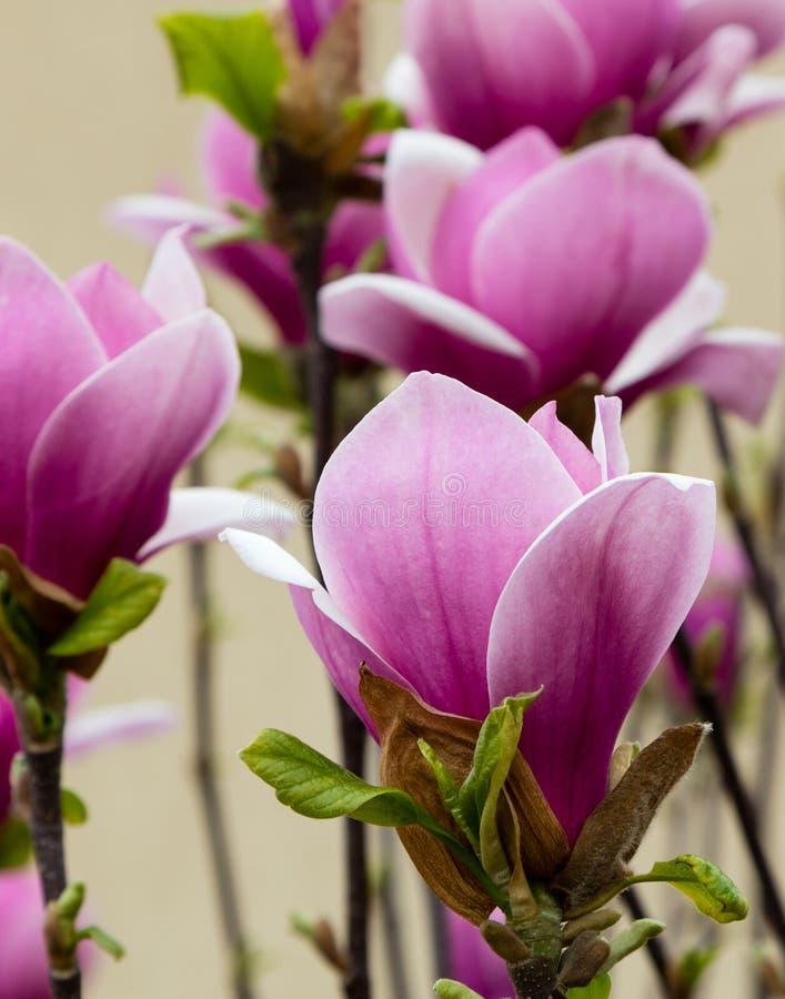 blomma magnoliapinken arkivbild