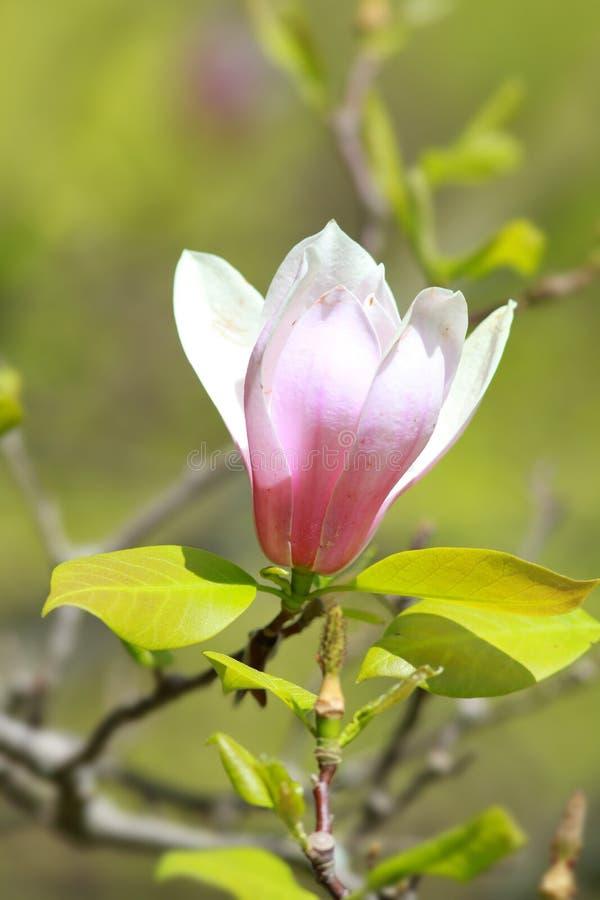 blomma magnoliawhite royaltyfri foto