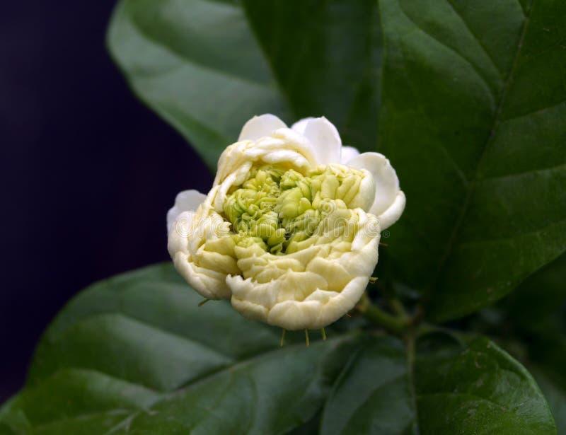 blomma mali royaltyfria bilder