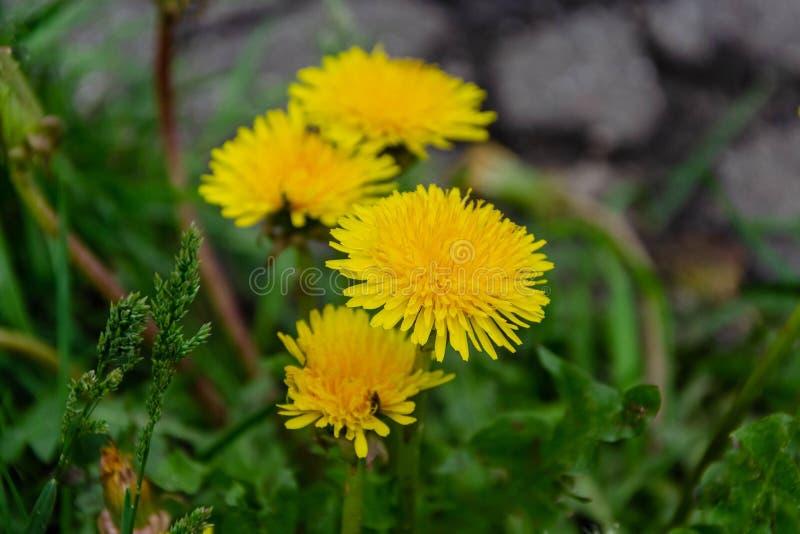 Blomma maskrosblommor på ett grönt gräs royaltyfri fotografi