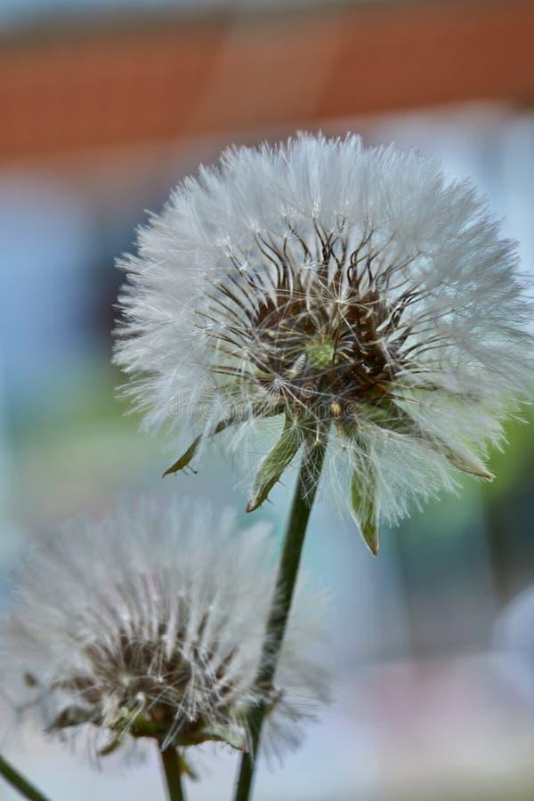Blomma maskrosen i natur royaltyfria foton