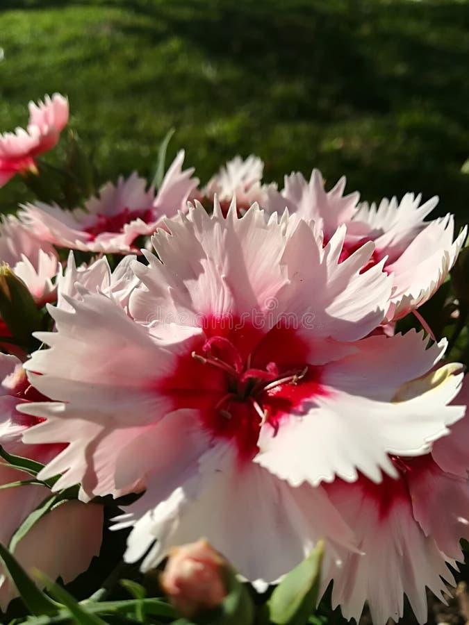 Blomma med åtskilliga pointy kronblad arkivfoton