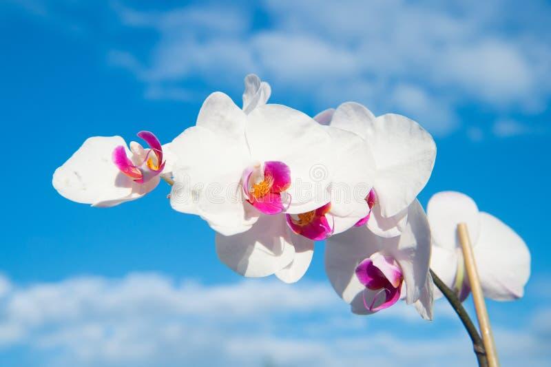Blomma med den nya blomningen på blå himmel Blomstra orkidén med vita kronblad på solig dag Skönhet av naturen Sommar eller vårsä royaltyfria foton