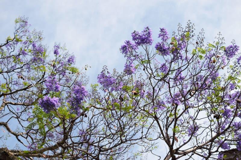 Blomma med purpurfärgade filialer för blommajakarandaträd mot blått royaltyfri fotografi
