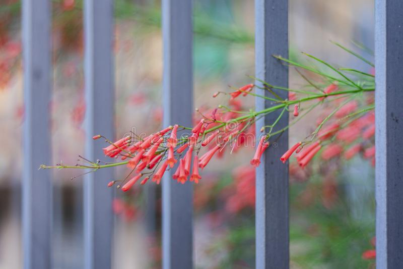 Blomma med röda knoppar bak metallstaketet royaltyfria bilder