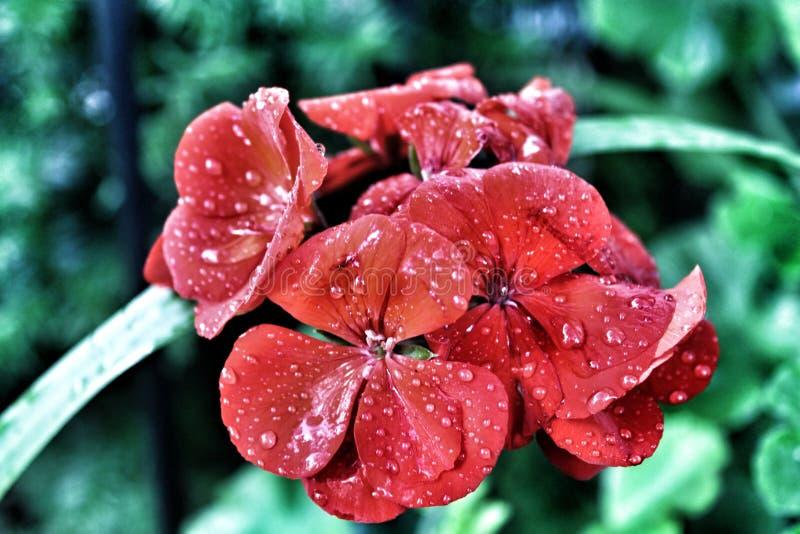Blomma med regndroppar royaltyfri bild